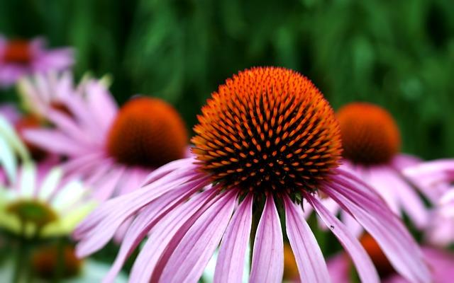 immune booster echinacea